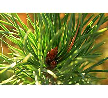 Tip of Scots Pine Tree Photographic Print