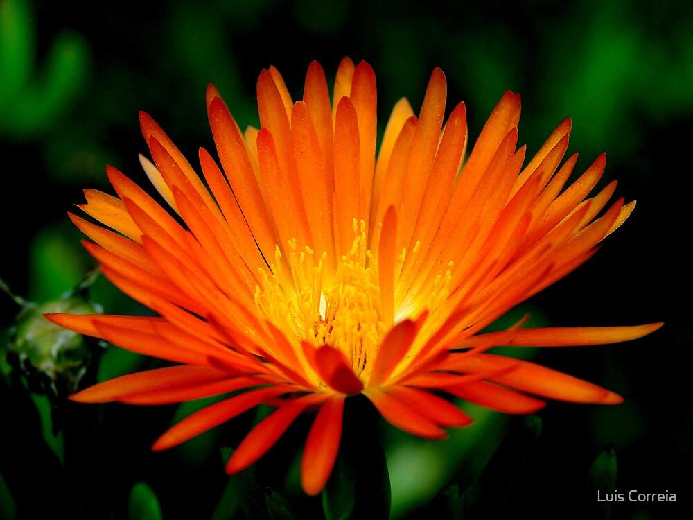 Bright Orange by Luis Correia
