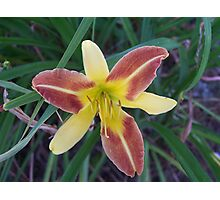 Blooming Lily Photographic Print