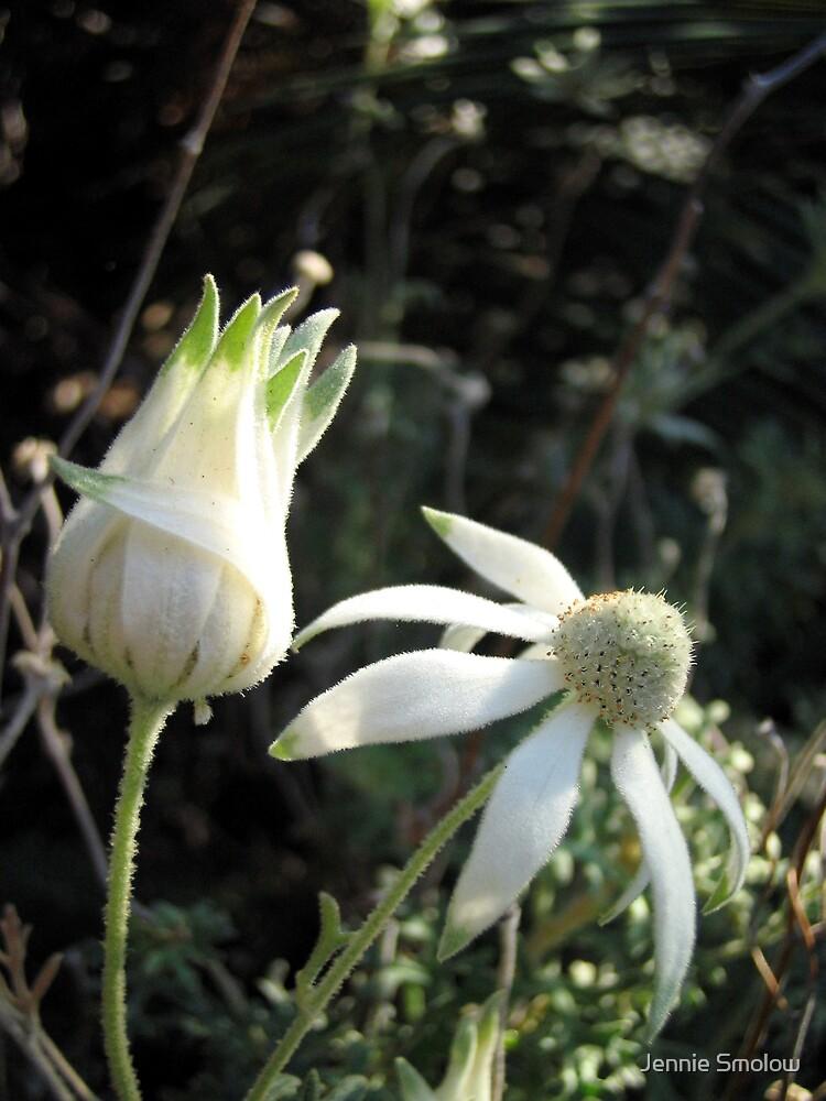 Flannel Flower by Jennie Smolow