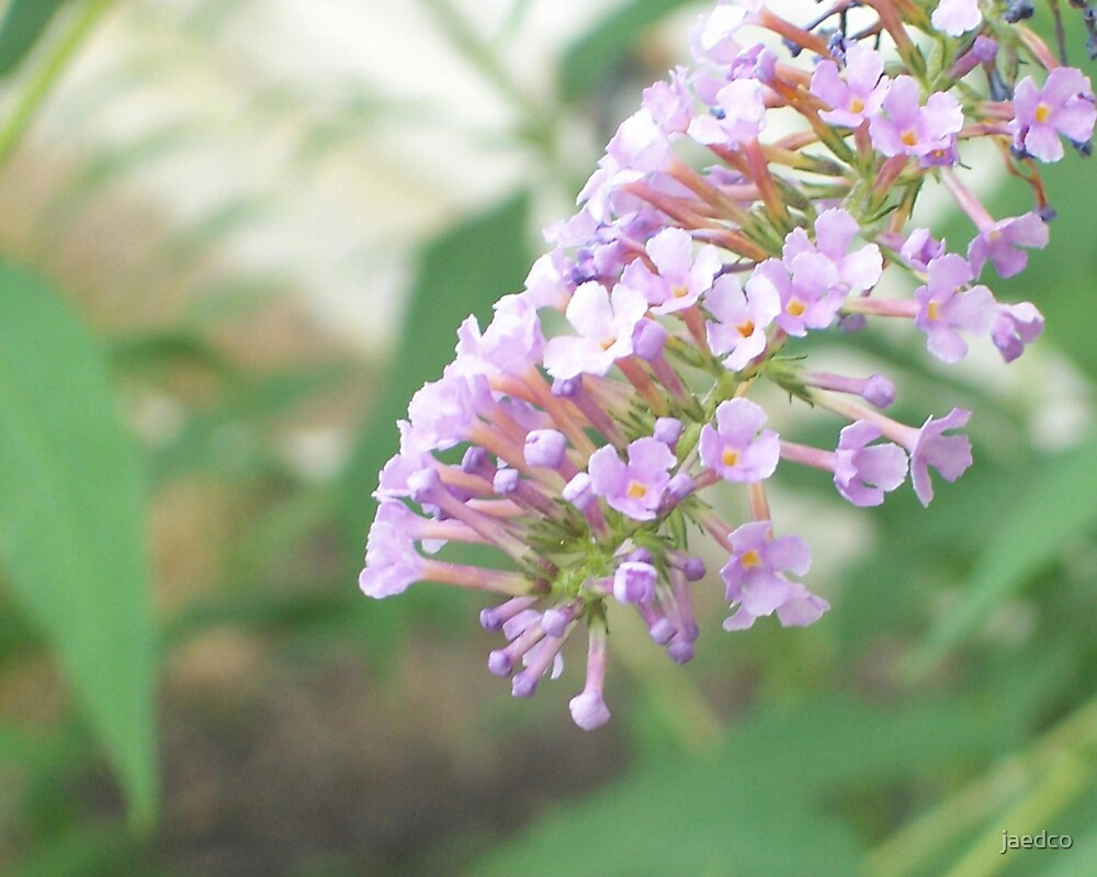 Butterfly Bush by jaedco