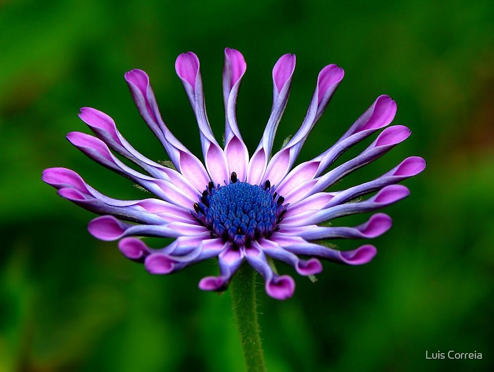 Purple Petals by Luis Correia