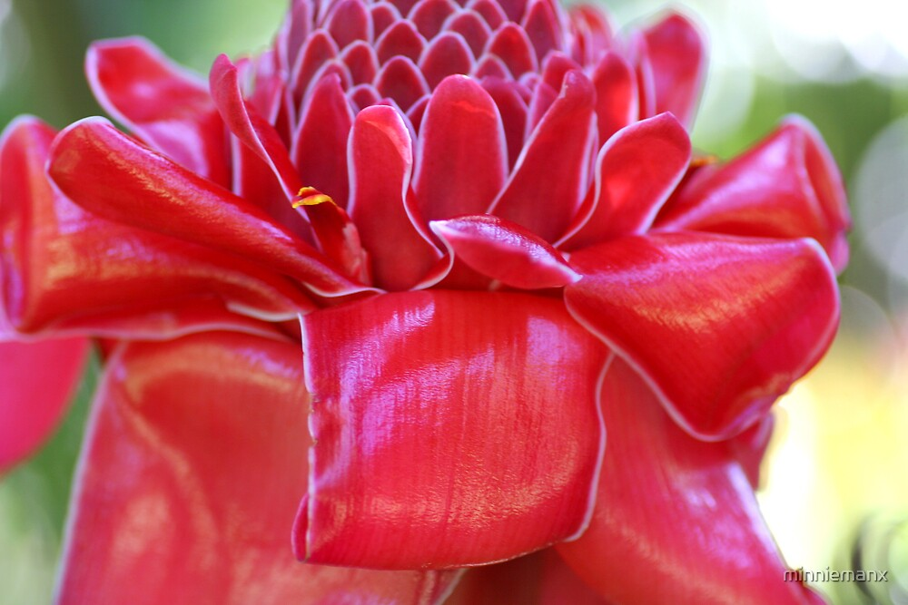 Torch Ginger by minniemanx
