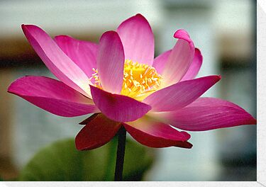 Pink Lotus by Dave Lloyd