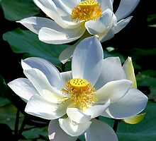 White Lotus's by Dave Lloyd