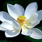 White Lotus by Dave Lloyd