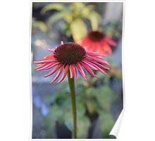 Pink Echinacea Poster