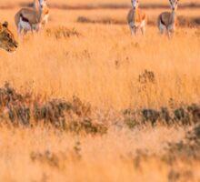 Lioness Prowl Etosha National Park Sticker