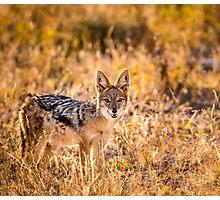 Jackal Etosha National Park Photographic Print