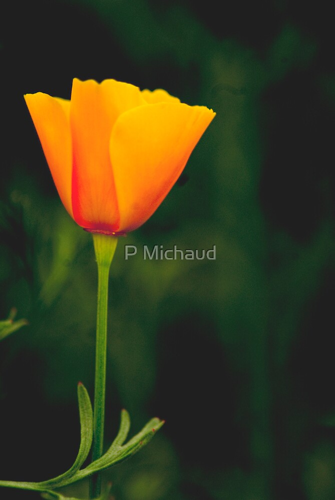 california poppie by P Michaud