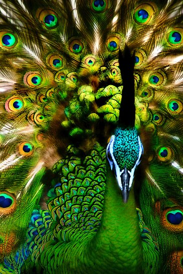 Portrait of a Peacock by BethBernier