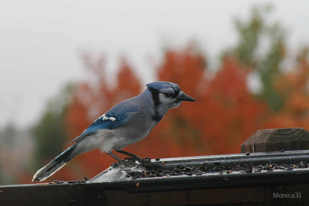 blue jay eating all my seeds by Monica31