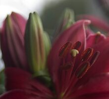 Asiatic lily by rawdiamond