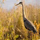Great Blue Heron by Susan Gottberg