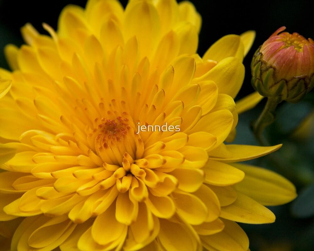 Yellow Chrysanthemum by jenndes