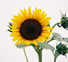 sunflower by Marquee Smith
