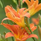 Orange Day Lilies by Martha Medford