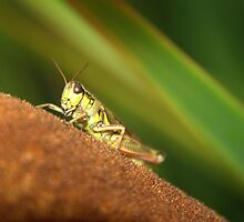Grasshopper On Cattail. by Crokuslabel