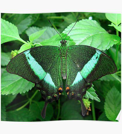 Emerald Swallowtail - Open Wings Poster