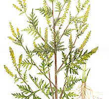 Common Ragweed - Ambrosia artemisiifolia by Sue Abonyi
