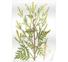 Common Ragweed - Ambrosia artemisiifolia Poster