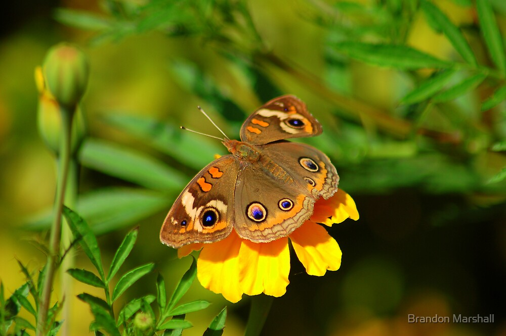 Butterfly Wide Shot by Brandon Marshall