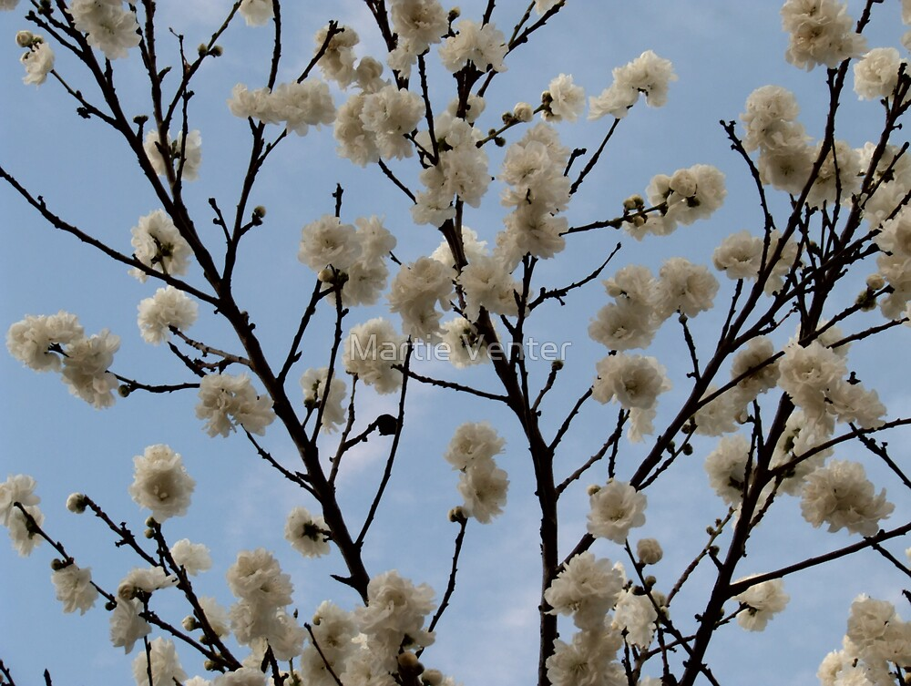 Spring Blossoms by Martie Venter