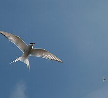 Arctic Tern by Steve Bulford