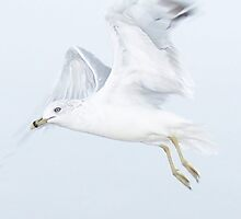 Seagull In Flight by tim100