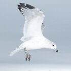 Seagull In Flight II by tim100