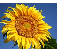 Big Sunflower Photographic Print