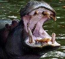 Hippo by Adrian Richardson