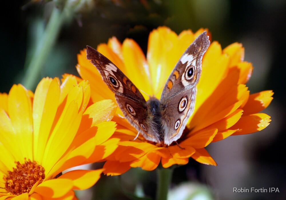 Flutterbye by Robin Fortin IPA