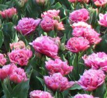 Parade of Pinks - Tulips in the Keukenhof Gardens Sticker