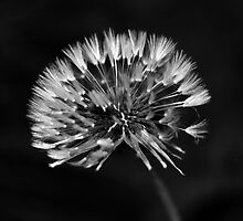 White Dandelion by Diana  Burge