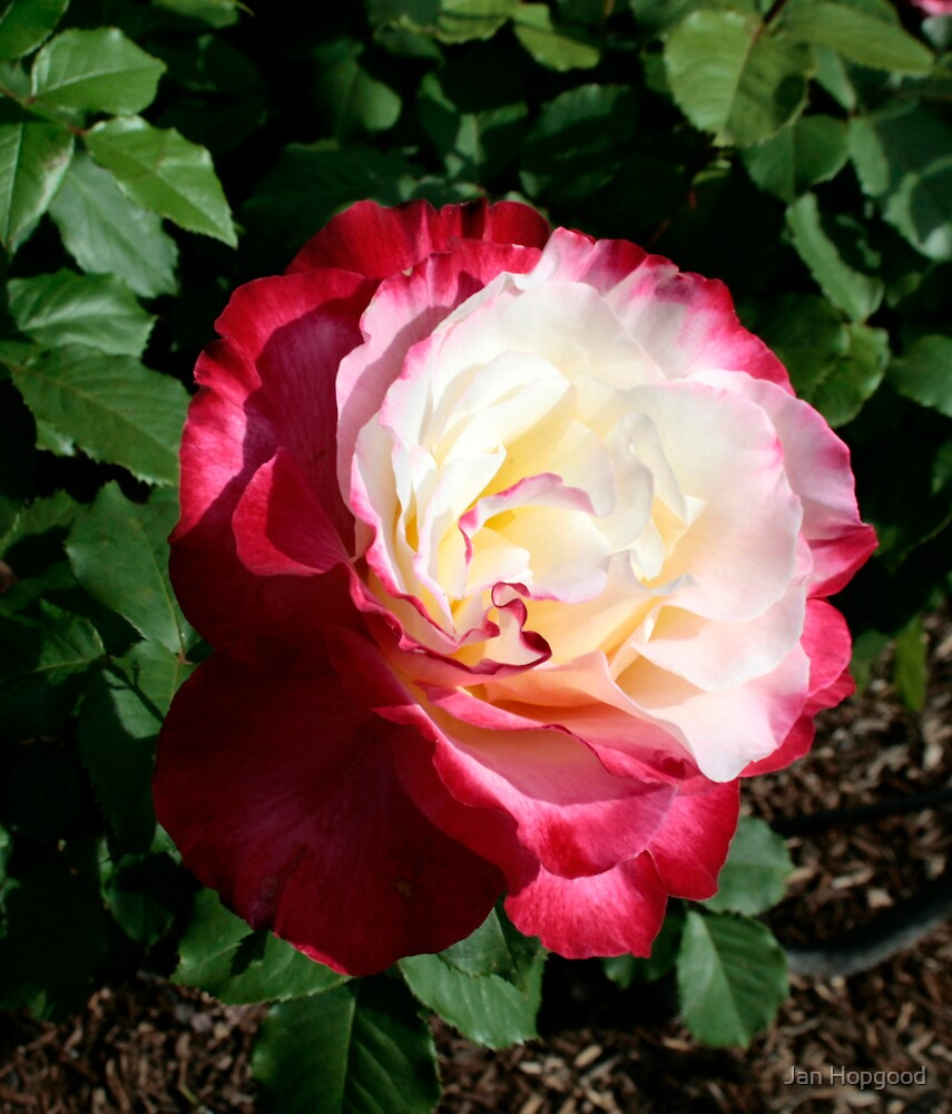 Rose......Double Delight by Jan Hopgood