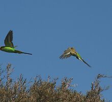 Budgies on the Canning Stock Route  by Bill McRobb
