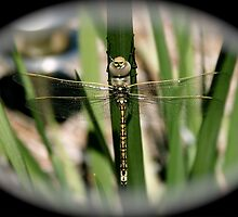 Fish eye Dragon Fly by exitnow