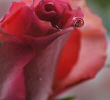 single rose by Joyce Knorz