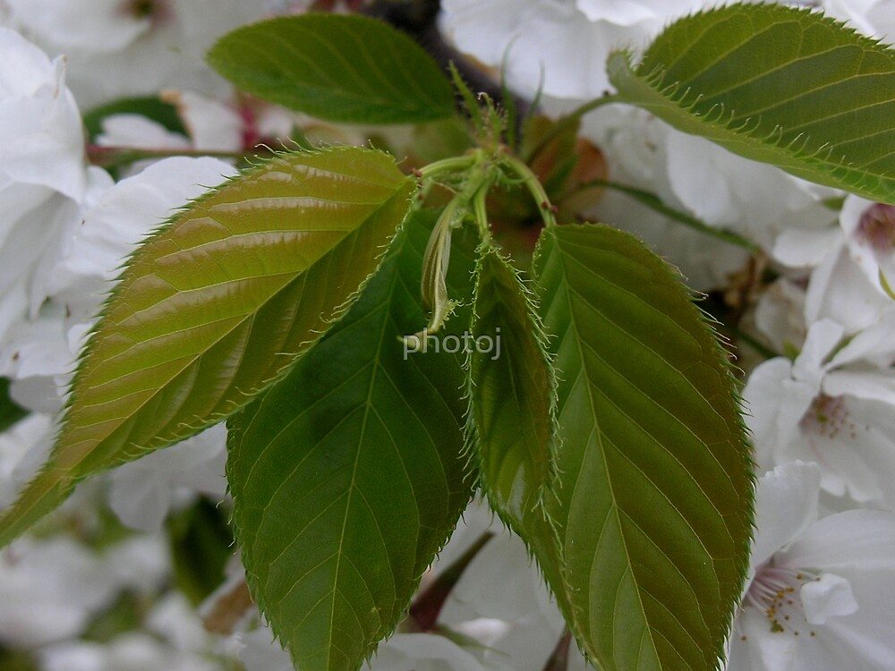 photoj Flora, Spring Leaves by photoj