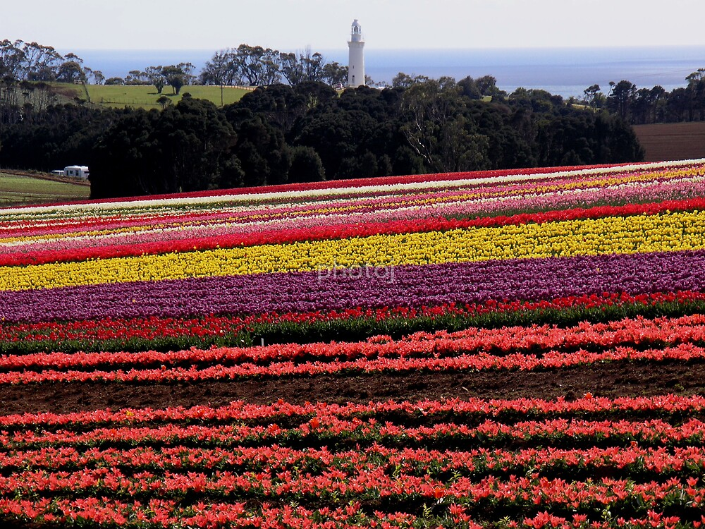 Tasmania-Tulips, Table Cape  by photoj