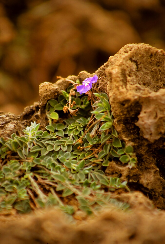 Little Flower by Jonathan Cohen