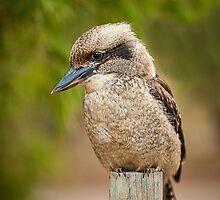 Kookaburra by Nicole Fenwick