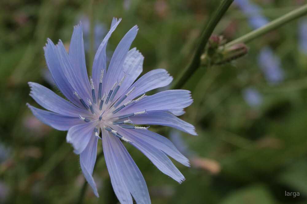 beautiful blue flower by larga