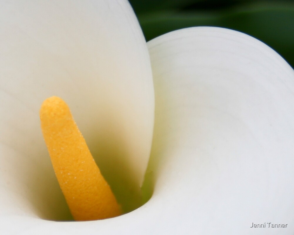 arum lily 2 by Jenni Tanner