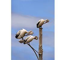 Pelican Preening Pole Photographic Print