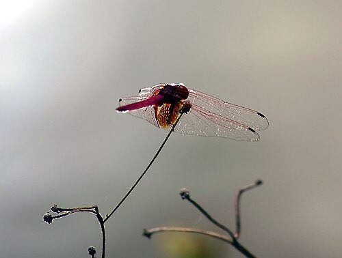 Dragonfly Vietnam 1 by GetCarter