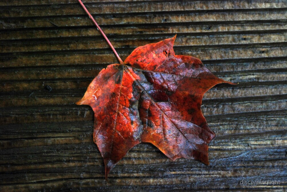 Wet Red Leaf on Wood by discerninglight
