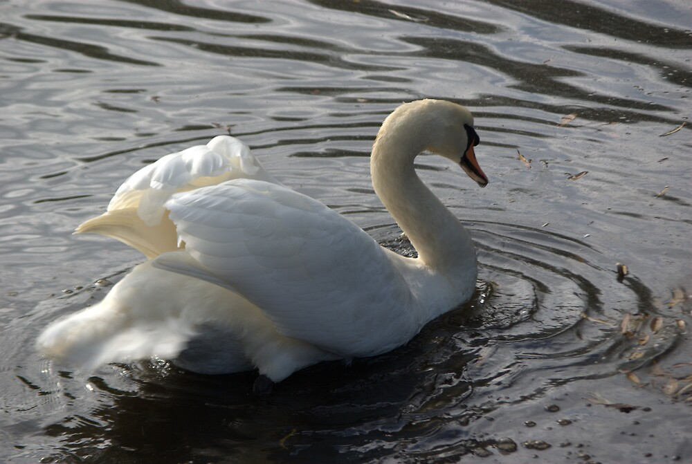 Courting Swan - Full speed ahead by John Thurgood