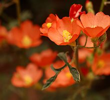 Orange Globe Mallow by Karin  Hildebrand Lau